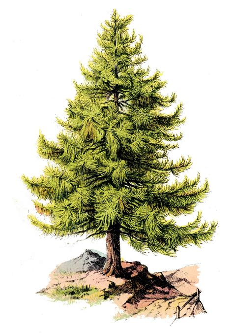Tree Wallpaper Clipart by Free Pine Tree Clip Pictures Clipartix