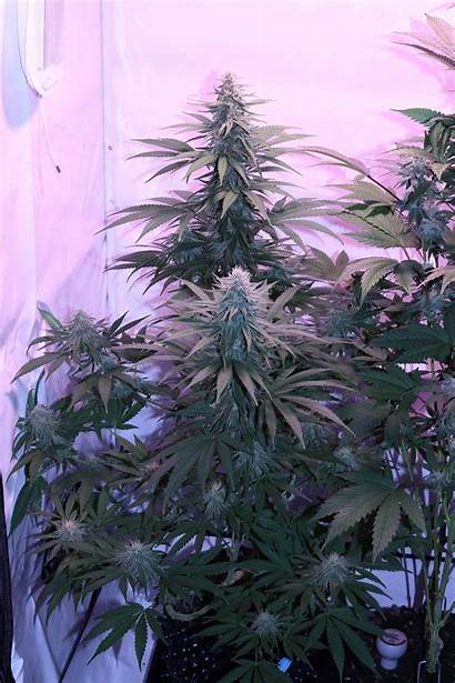 Harlequin 1318 Cbd Growdiaries Domina