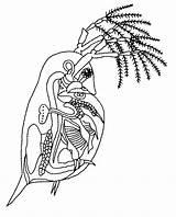 Flea Daphnia Water Coloring Sketch Deviantart Template Misterbug Pages Pulex Magna Vs Explore sketch template