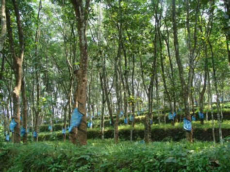 rubber plantation  kottayam india travel forum