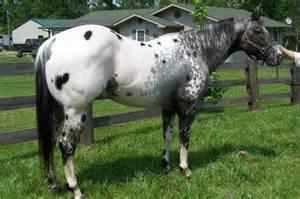 Black and White Appaloosa Stallion