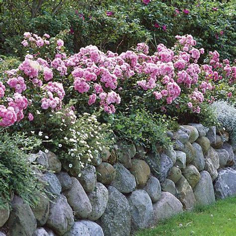 pflanzen für steinmauer rosenhecke friesenwall 4 pflanzen wundersch 246 ne gartenbilder pinte