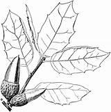 Oak Coloring Coast Pages Tree Drawing Printable Supercoloring Getdrawings Leaf Dark sketch template