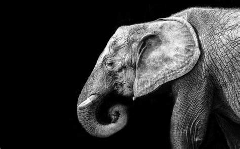 Wallpaper Elephant in black and white My HD Wallpapers