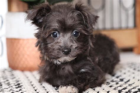slate adorable male morkie puppy florida puppies
