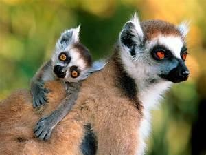 Monkeys images Lemurs HD wallpaper and background photos ...