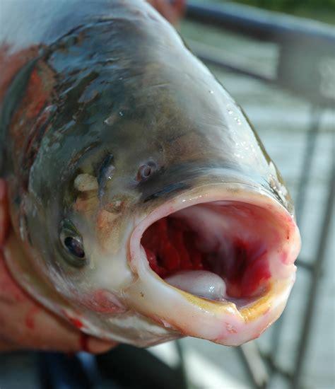 asian fish january 2014 the bufflehead
