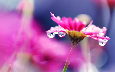 pink flower macro photography bright water droplets