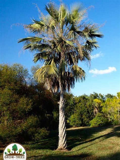 Carnauba Palm - Grow-Trees.com Blog