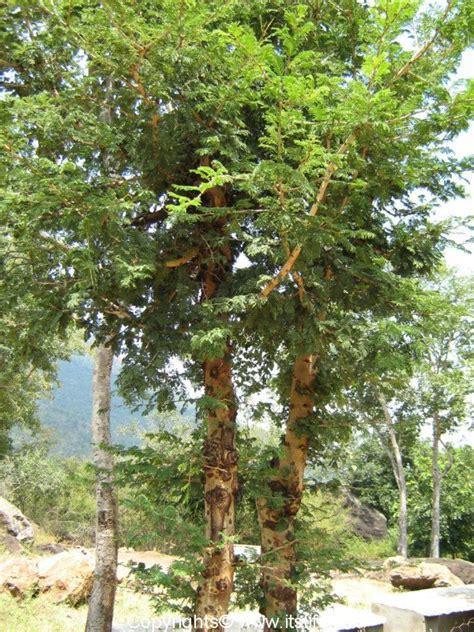 banni tree auspicious  dasara festival