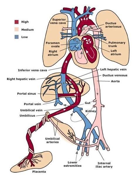 Janin Intrauterine Fetal Circulation Birth Midwifery Pinterest