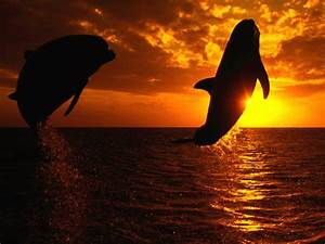 Killer Whale Jumping Out Of Water Sunset - wallpaper.