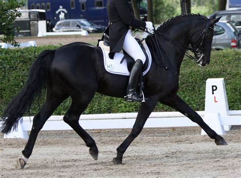 dressage horses horse equestrian abuse jumping german hp trot reining disciplines professional saddlers saddlery village master quality doing most prix