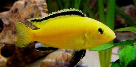 difference  mbuna aulonocara  haplochromis