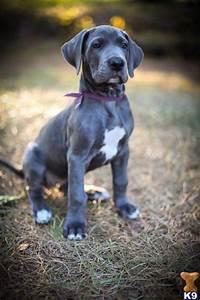Great Dane pup | Best Friends | Pinterest
