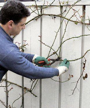 climbing pruning pruning climbing roses outdoors pinterest i am
