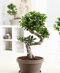 bonsai pflege bonsai pflege bonsai ficus ginseng bonsai With whirlpool garten mit bonsai ficus ginseng