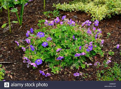 geranium rozanne purple flowers flowering geraniums