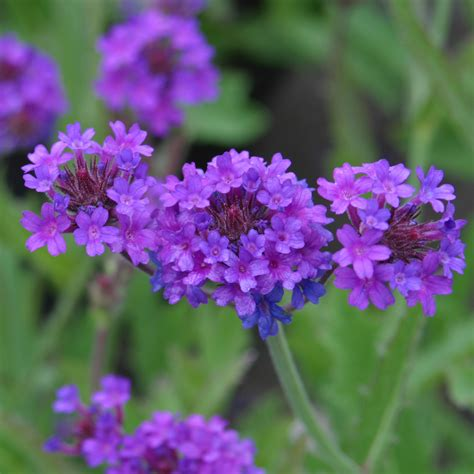 Verbena Plant Care Guide And Varieties  Auntie Dogma's
