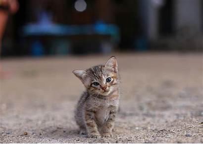 Cat Wallpapers Desktop Kitten Background Cats Animals