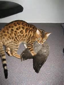 bengal cat pet bengal cat sushi bengal cat pet bengal cat