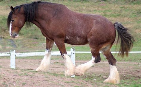 horse breeds expensive most clydesdale arabian trendrr looking scotland hair