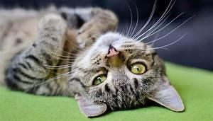 Linguaggio dei gatti: come capire un gatto MicioGatto it