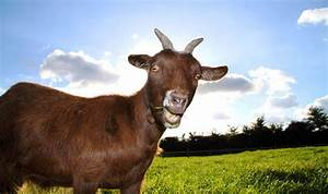 Top Ten Facts About Goats