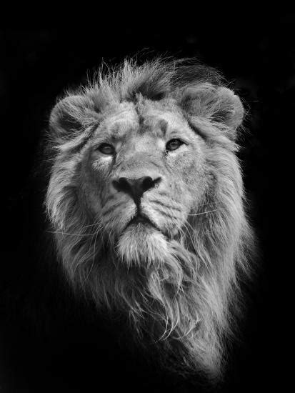 African Animals Lions Facts