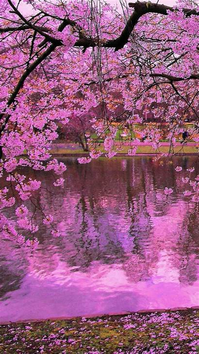 Sakura Cherry Blossom Iphone Wallpapers Blossoms Phone