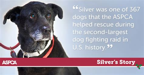Black Lab Rescued From Dog Fighting Read Silvers Story Aspca
