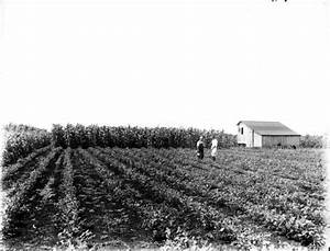 Florida Memory - Farmers in a field of potatoes with corn ...