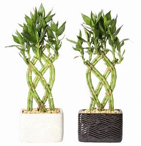 Delray, Plants, Live, 2-pack, Small, Lucky, Bamboo, Indoor, House, Plant, In, Ceramic, Decor, Pot