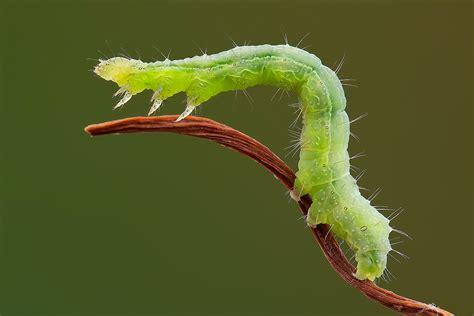 http://www.fotocommunity.it/photo/caterpillar-agility-bruco-autograph-roberto-becucci/31666048