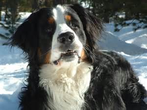 flash design bruno doggybone org berner sennenhund bruno urias vom haus oevelgã nn hundehomepage