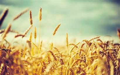 Field Wheat Barley Nature Crops Grain Wallpapers