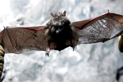 pa bat species threatened  white nose syndrome