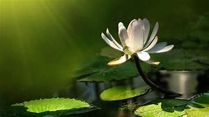 Nenuphar (water... White Water Lily Quotes