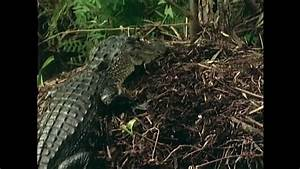 American Alligator- Reproduction