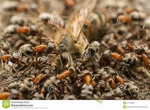 Was Essen Ameisen : ameisen schwarm der tote biene isst stockfoto bild von ~ Lizthompson.info Haus und Dekorationen