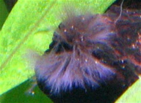 comment enlever des algues dans un aquarium d 233 but d algues pinceaux sur ma mousse