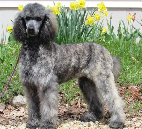 winter blitz moyen silver brindle poodle