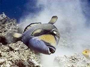 When Titan Triggerfish Attack - AquaViews