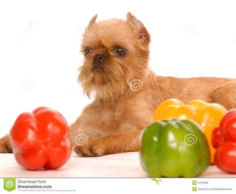 rimpelige hond