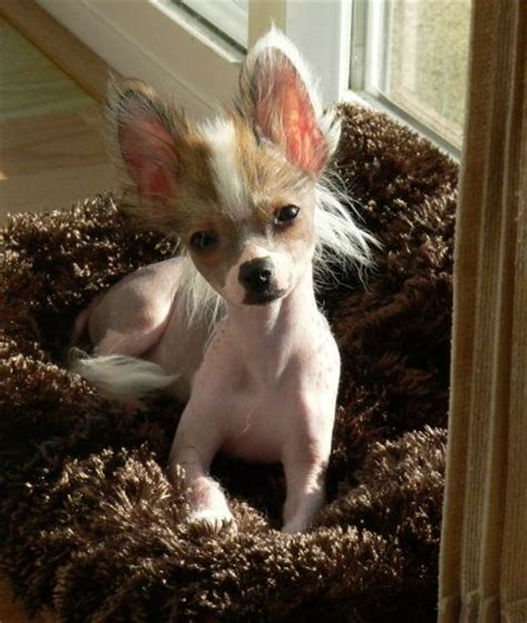 ridiculously cute chihuahua mixes