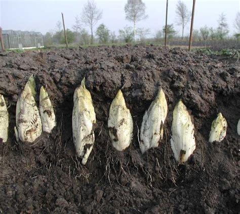 chicoree hollaendischer mittelfrueher cichorium intybus var