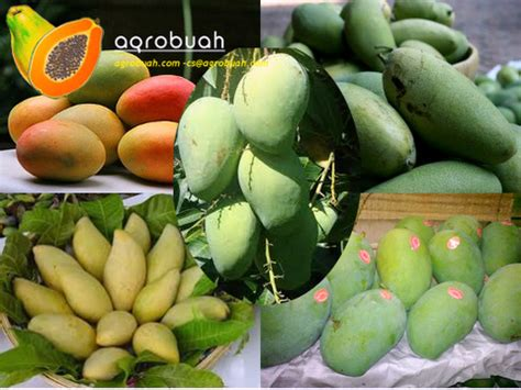 Grosir Mangga Dalam Partai Besar Agro Buah