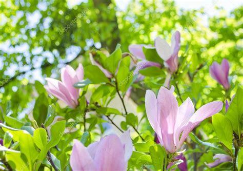Flores de magnolia rosa hermosa suave brillante sobre una