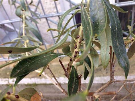 olivenbaum in der wohnung überwintern l 228 use am olivenbaum in der wohnung sch 228 dlinge bek 228 mpfung