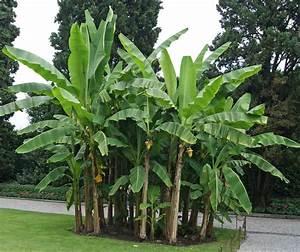 Japanische Pflanzen Winterhart : musa basjoo japanische faserbanane bambus und pflanzenshop ~ Michelbontemps.com Haus und Dekorationen
